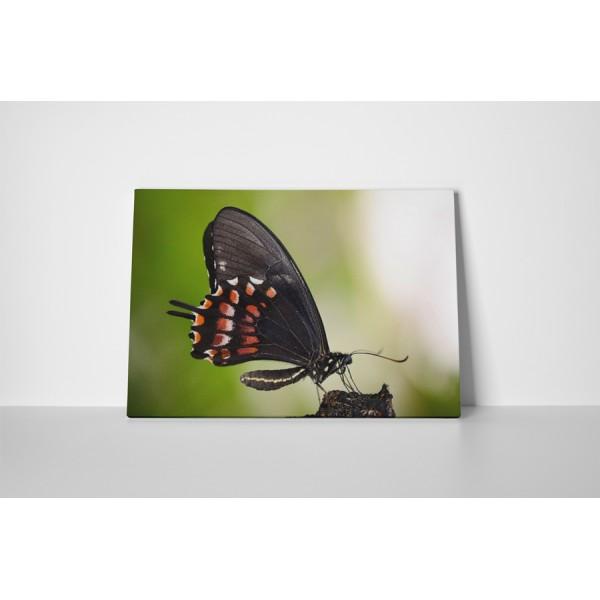 Čierny motýľ