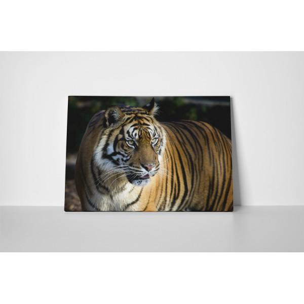 Divoký tiger