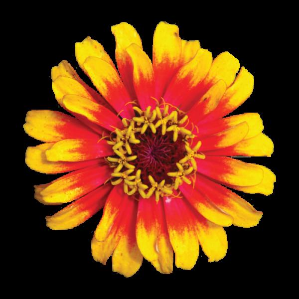 Žltá Gerbera