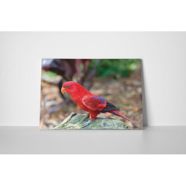 Červený papagáj