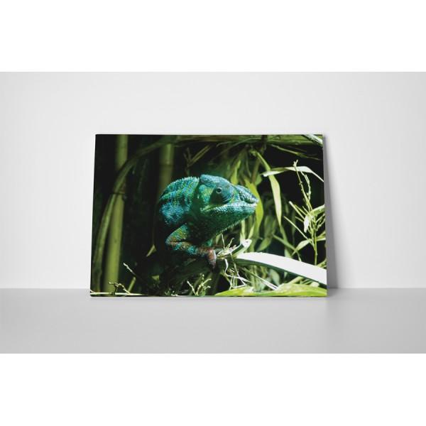 Chameleón tyrkysový