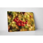 Cotoneaster berry